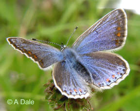 Common Blue f.