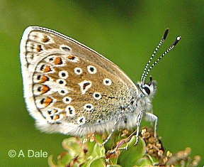 Common Blue at rest
