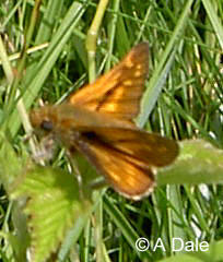Large Skipper m