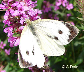 Large White f