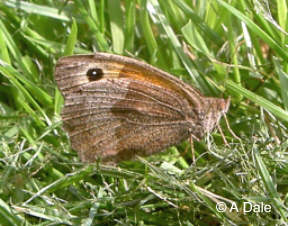 Meadow Brown f