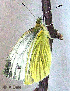 Newly emerged Green-veined White
