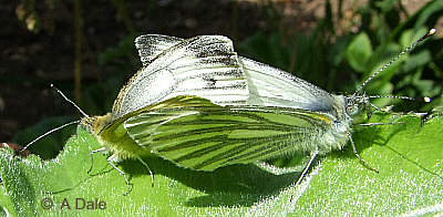 Green-veined White mating pair