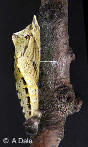 Green-veined White pupa