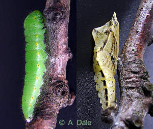 Small White caterpillar and chrysalis