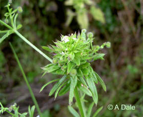 Cleavers gall