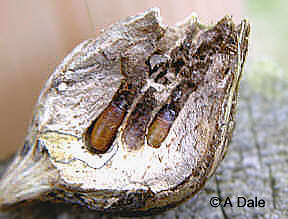 Grubs inside the gall chamber
