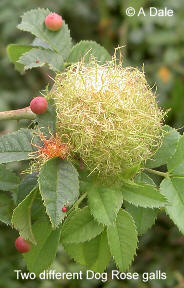 Dog Rose galls