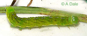 Angle Shades immature 26mm larva