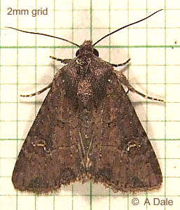 'probably' Common Rustic