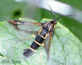 Currant Clearwing