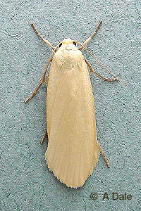 Dingy Footman - yellow form