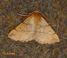 Feathered Thorn f