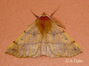 Feathered Thorn m