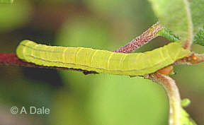 Herald caterpillar