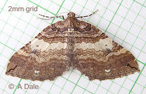 Shoulder stripe moth