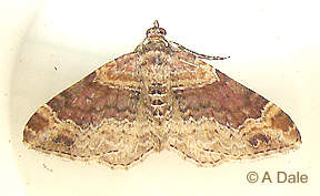 Dark-barred Twin-spot Carpet