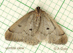 Early Moth, ventral view