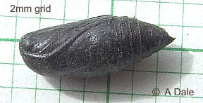 Flame Shoulder pupa