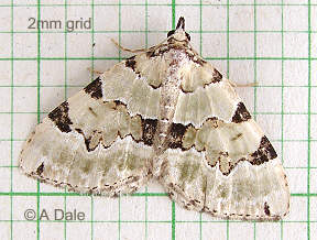 Green carpet moth, faded specimen
