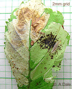 Horse Chestnut leaf mine