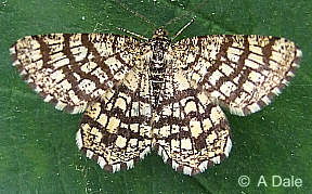 Latticed Heath moth