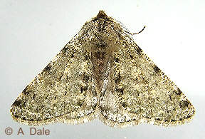 Pale Brindled Beauty - male