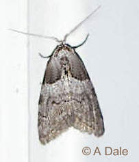 Short-cloaked moth