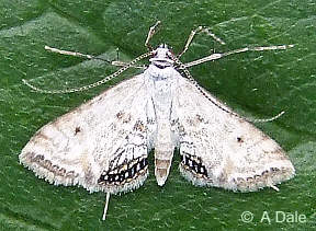 Small China Mark moth