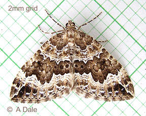 Water Carpet moth