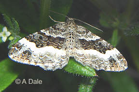 Wood Carpet moth