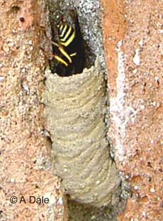 Potter wasp at nest.
