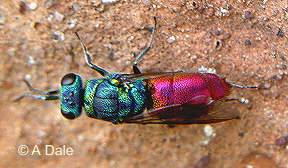 Ruby-tail wasp