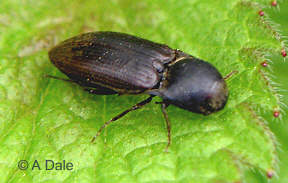 Click beetle