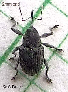 Willow Gall weevil