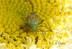 Potato capsid bug