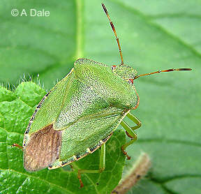 Green Shieldbug - summer colour