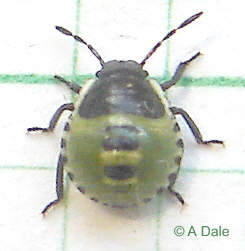 Green Shieldbug - 2nd instar