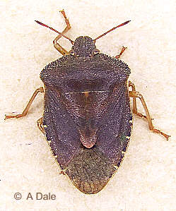 Green Shieldbug - winter colour