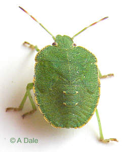 Green Shieldbug - 5th instar