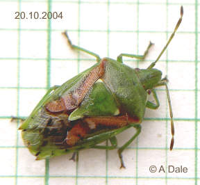 Juniper Shield Bug