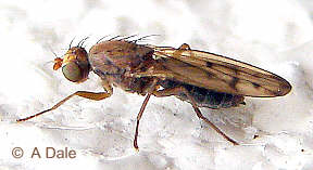 Opomyza florum, female