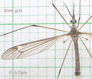 Tipula lateralis male