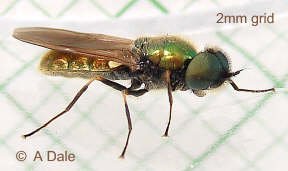Chloromyia formosa, male
