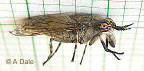 Cleg, Horse fly