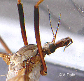 Common Crane fly