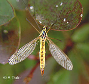 Spotted Crane-fly