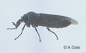 Fever fly - side view