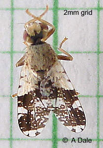 Picture-wing fly,
