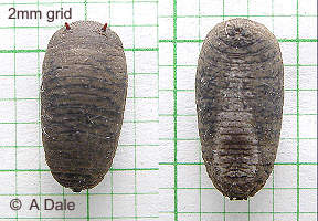 Merodon equestris pupa, top and bottom views